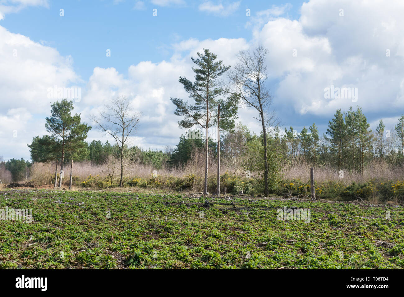 View of heathland and woodland habitat at Bramshill Plantation, managed by the Forestry Commission, in Hampshire, UK - Stock Image