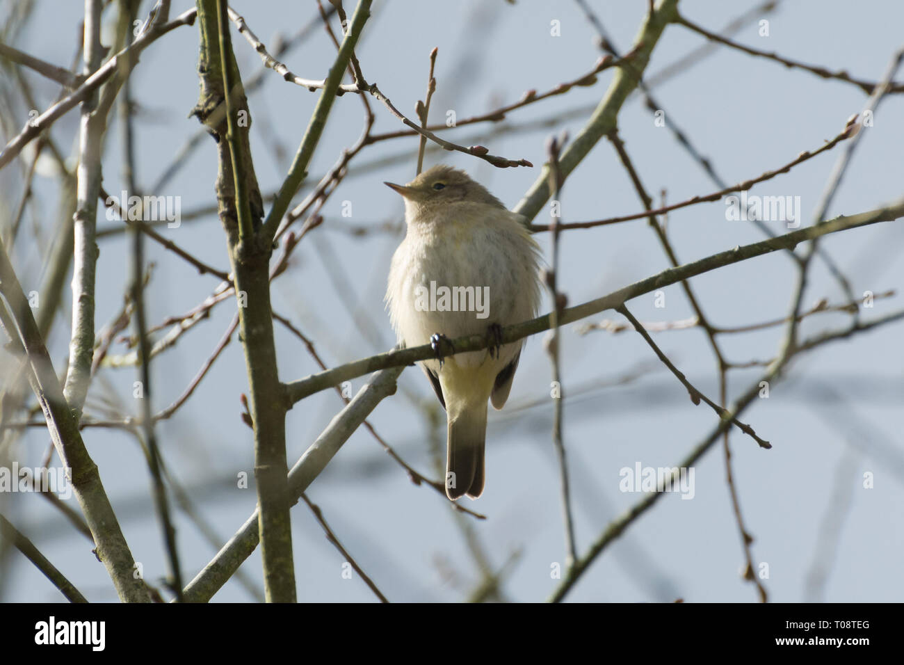 A common chiffchaff (Phylloscopus collybita) bird in a tree during March. Chiffchaffs are migratory warblers, and come to the UK in spring to breed. - Stock Image