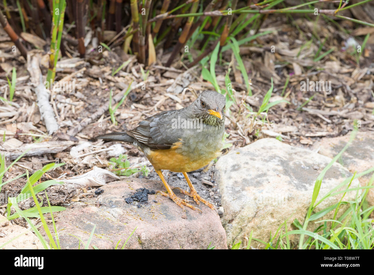 Olive Thrush, Turdus olivaceus, foraging in garden standing on stone edging, Western Cape, South Africa Stock Photo