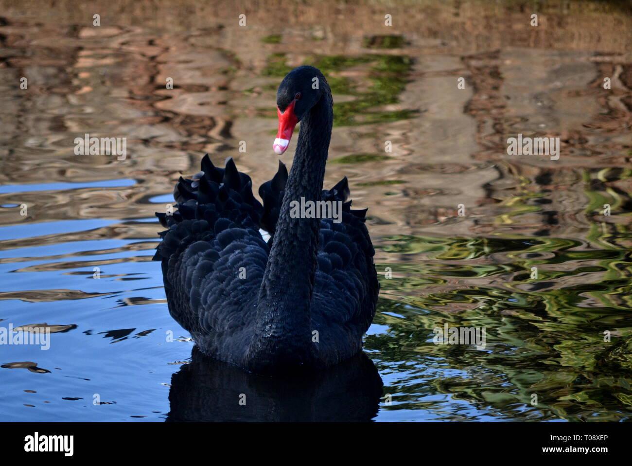 Black Swan - Stock Image
