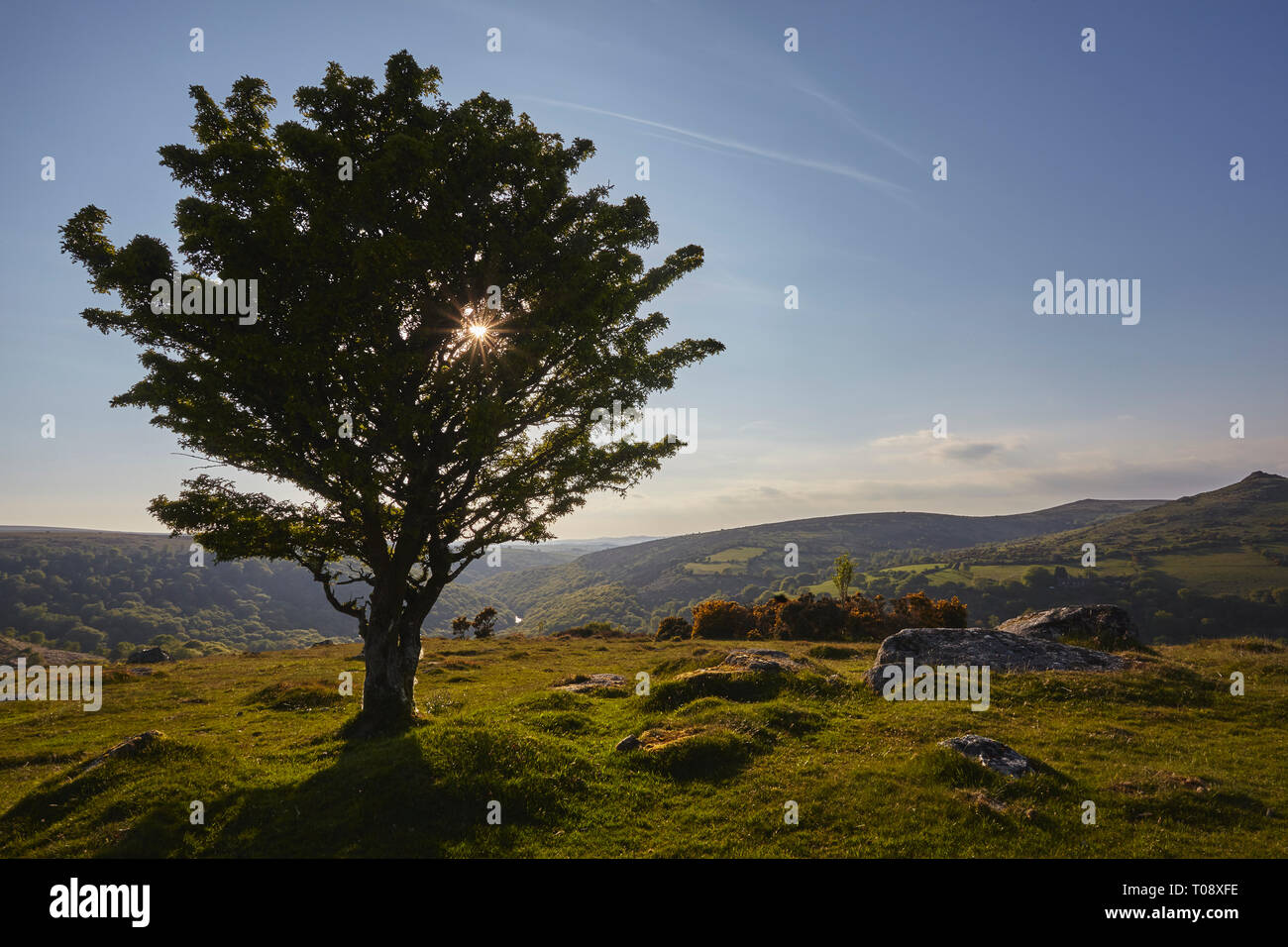 A hawthorn tree silhouetted against a low sun, on Bench Tor, near Holne, Dartmoor National Park, Devon, Great Britain. - Stock Image