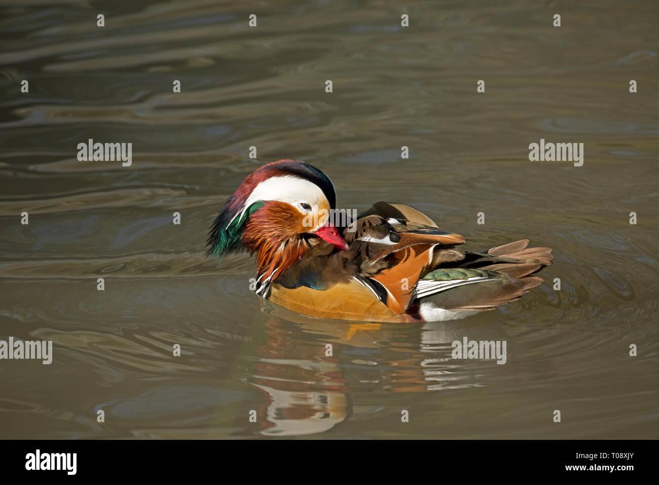 Single male Mandarin duck, Aix galericulata, swimming, Wildfowl and Wetland Trust, Slimbridge, UK Stock Photo