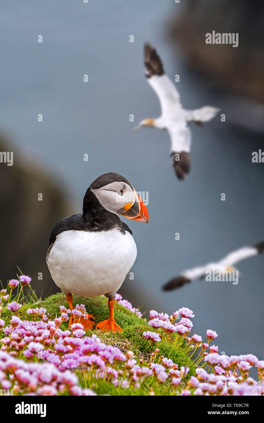 Atlantic puffin (Fratercula arctica) on sea cliff top and flying gannets in seabird colony, Shetland Islands, Scotland, UK - Stock Image