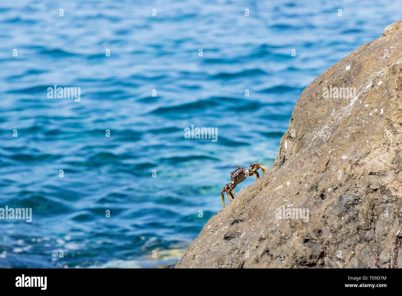 Grapsus grapsus adscensionis, red crab living on rocks along the west coast of Tenerife, Canary Islands, Spain Stock Photo