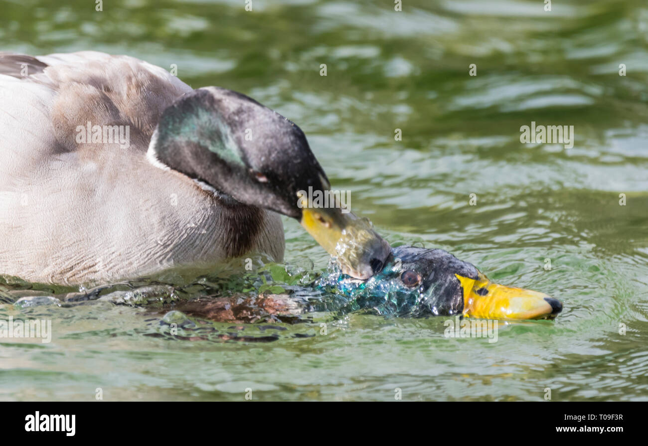 Pair of Drake Mallard Ducks (Anas platyrhynchos) fighting with another on water, pushing it's head under water in Winter in West Sussex, UK. - Stock Image
