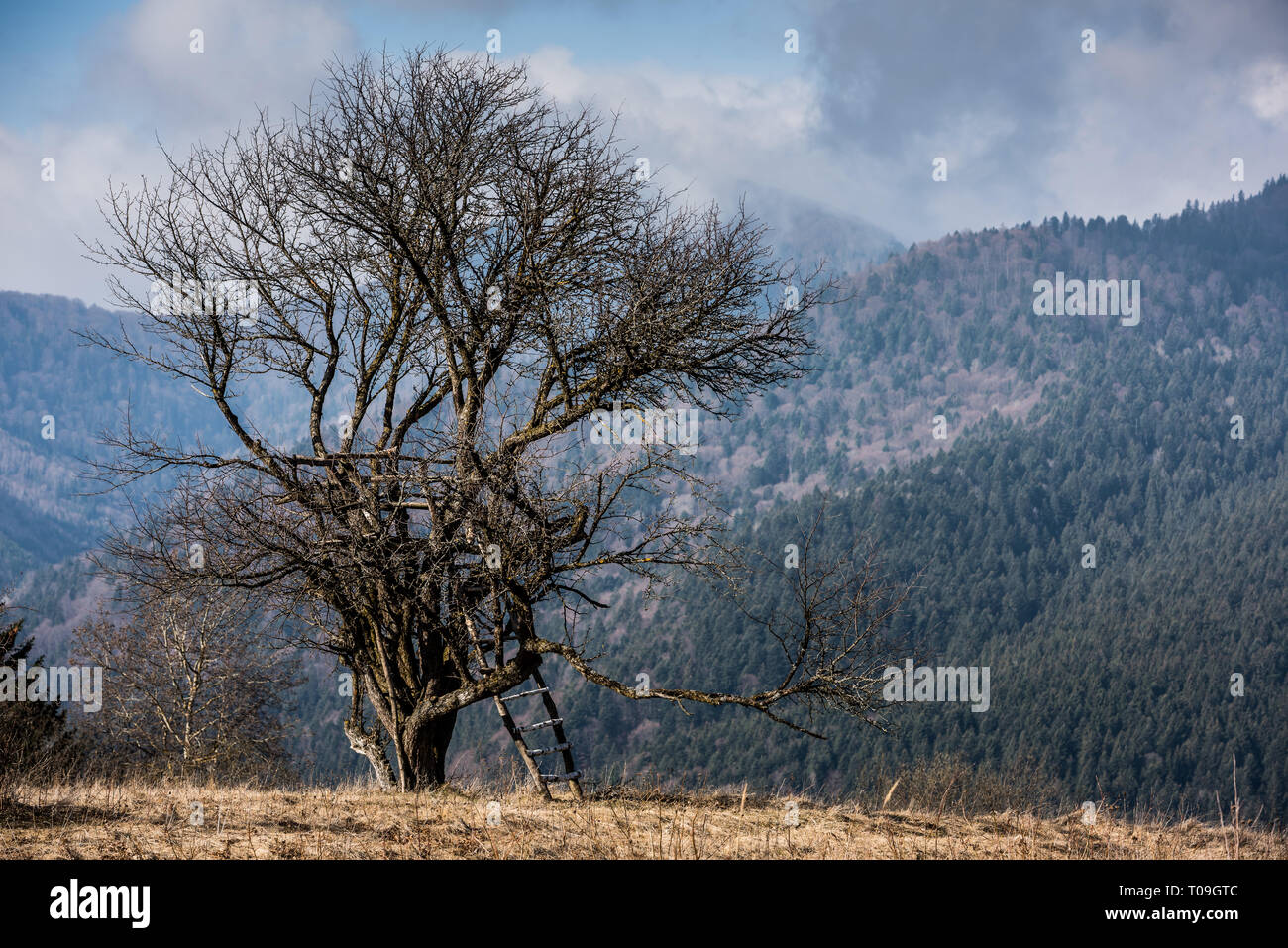 Old hunting tower on the wild fruit tree. Hunting tower. - Stock Image