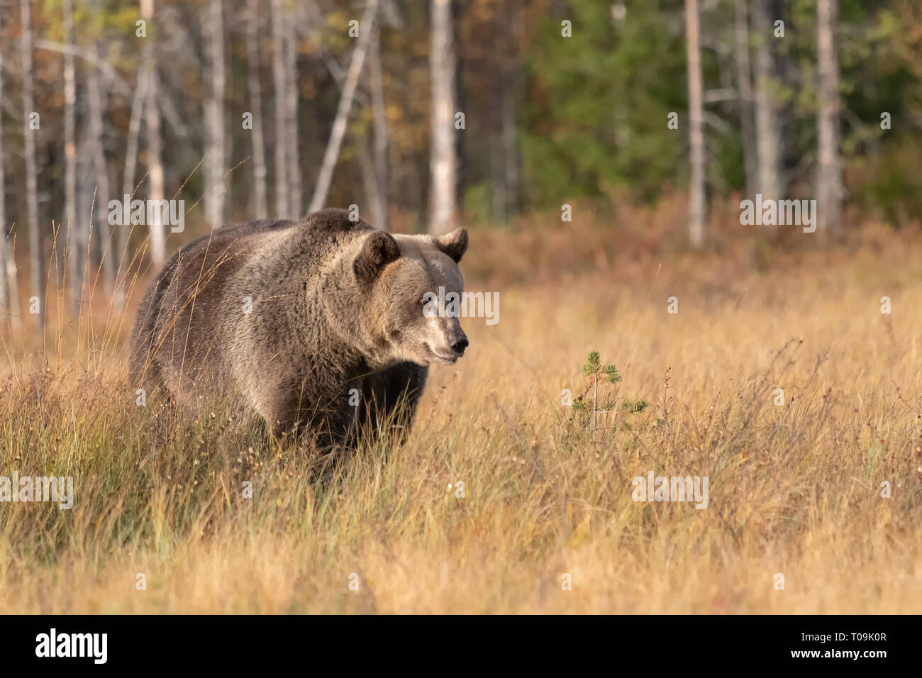 Eurasian Brown Bear - Thoughtfull - Stock Image