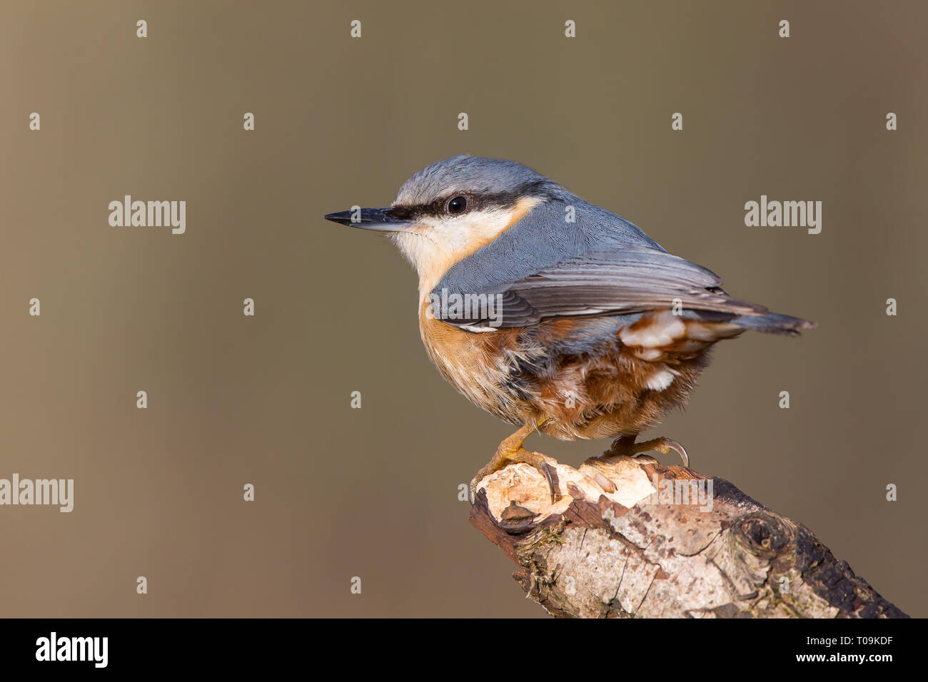 Detailed, close-up rear view of single nuthatch (Sitta europaea) perched on tip of wooden branch, facing image left. - Stock Image
