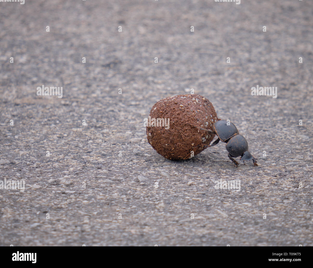 Flightless dung beetle pushing a ball of elephant excrements over the pavement Stock Photo