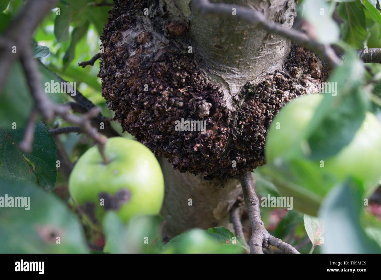 Fungal infection of apples - Stock Image