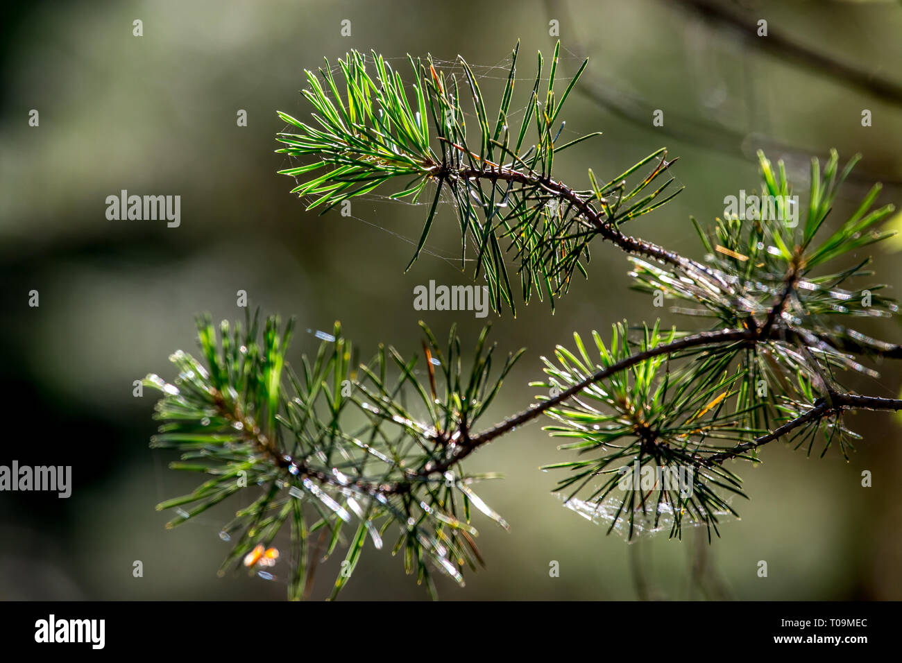 Spider Web On The Pine Tree On Green Forest Background Cobweb