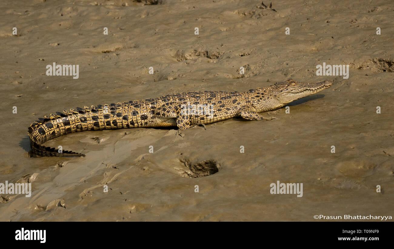 Baby Gharial at Sundarban Tiger Reserve - Stock Image