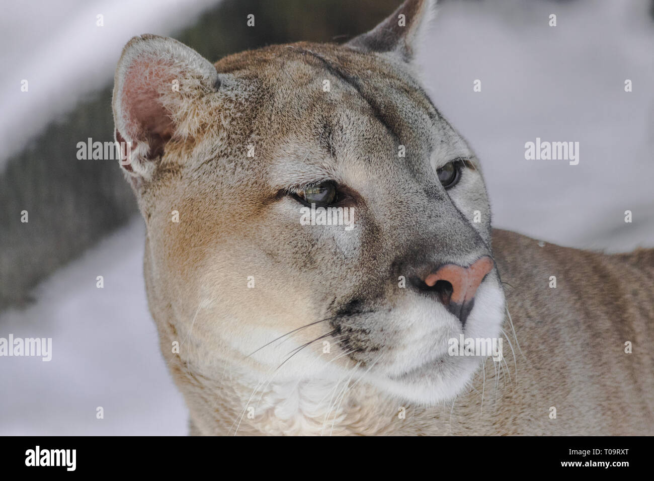 Cougar (Puma concolor), head portrait, looking to the right, with snow background - Stock Image