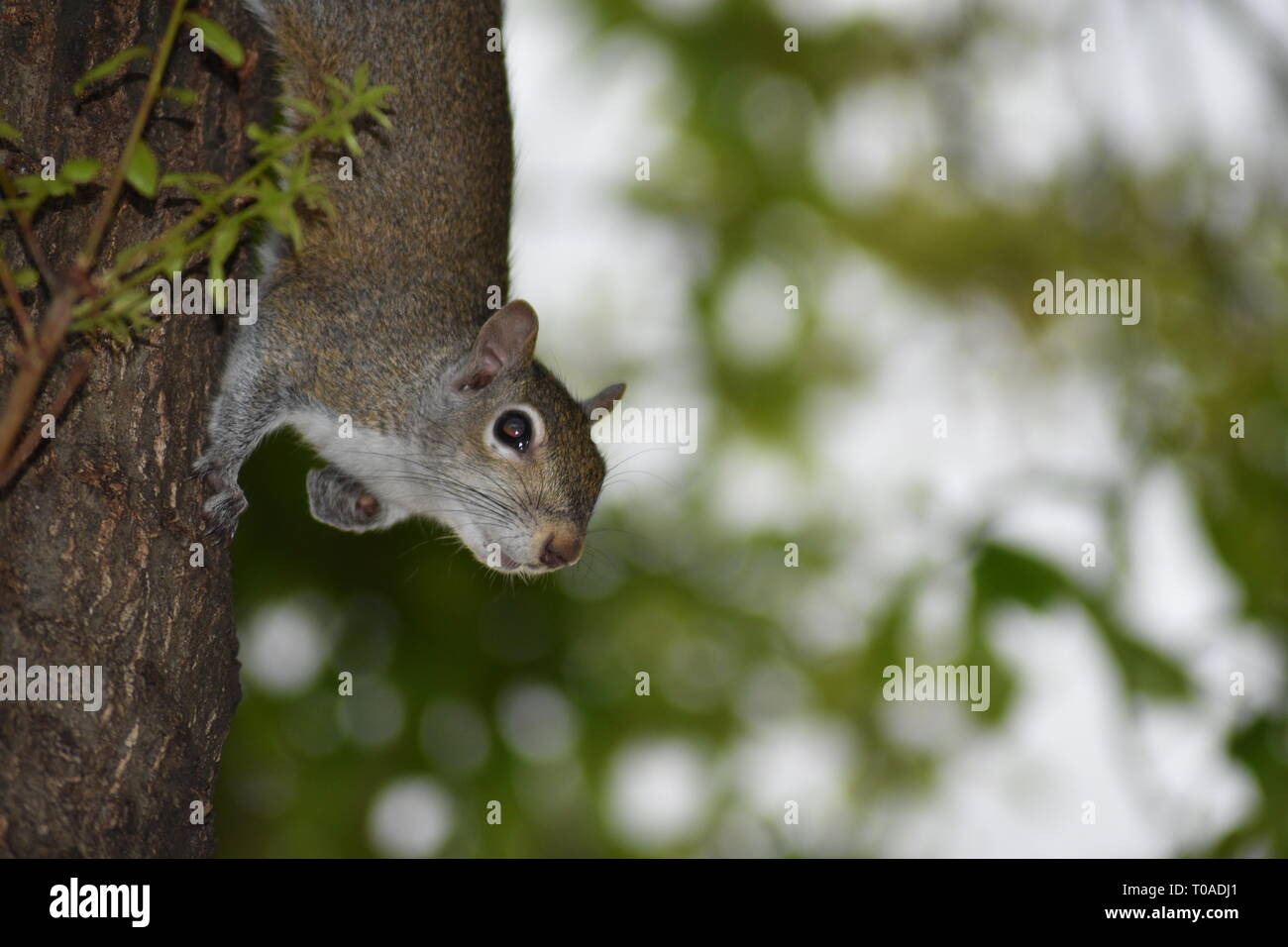 Eastern Grey Squirrel on a Tree Trunk Stopping to Take a Peek - Stock Image