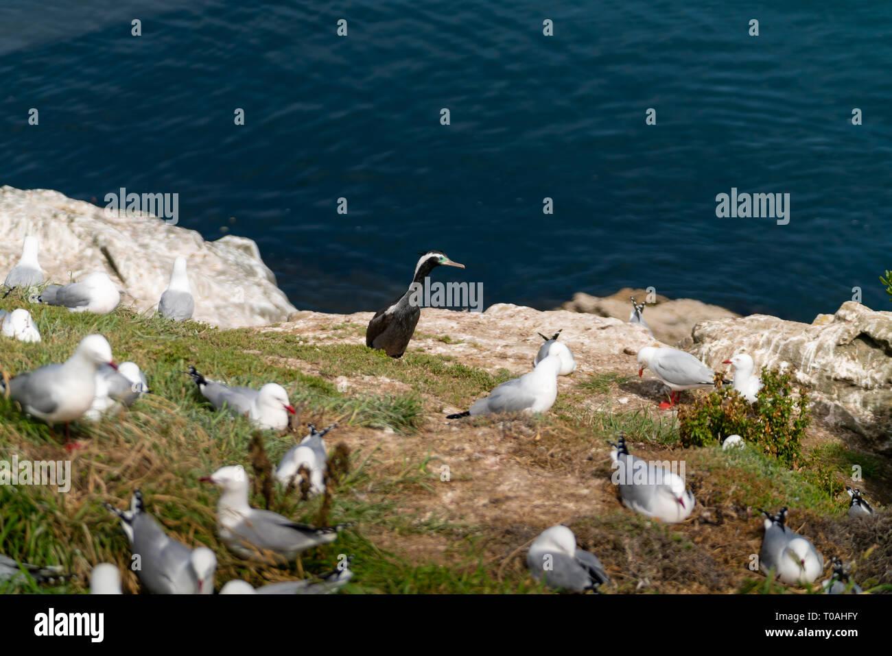 New Zealand spotted shag among breeding colony of red billed seagulls at Katiki Point, Moeraki - Stock Image