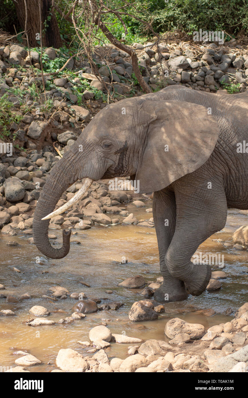 An African Elephant, Loxodonta africana, drinks from a shallow stream in Lake Manyara National Park, Tanzania - Stock Image