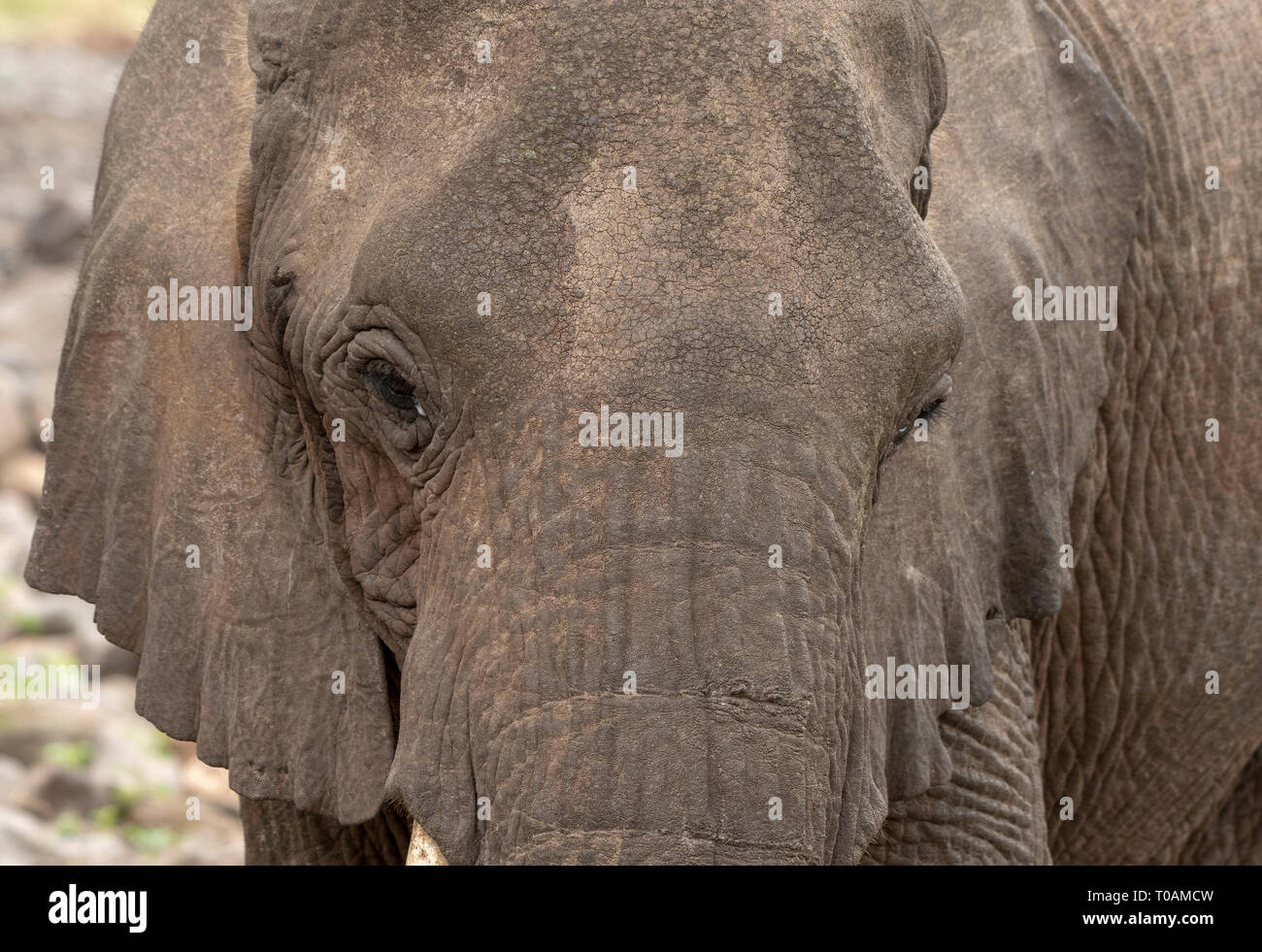 Close-up of an African Elephant, Loxodonta africana, in Lake Manyara National Park, Tanzania - Stock Image