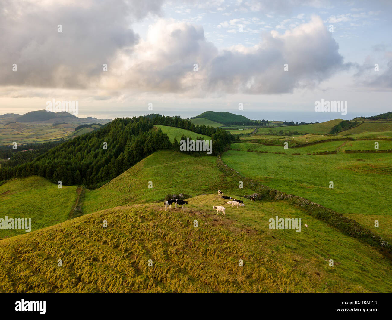 Drone view of typical azores landscape coastal with cows in a rural aerial view. Bird eye view, aerial panoramic point of view. Portugal tscenic desti - Stock Image