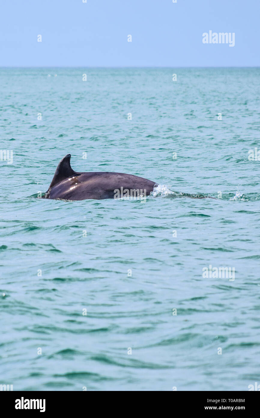 Bottlenose Dolphin near New Quay, Wales, UK - Stock Image