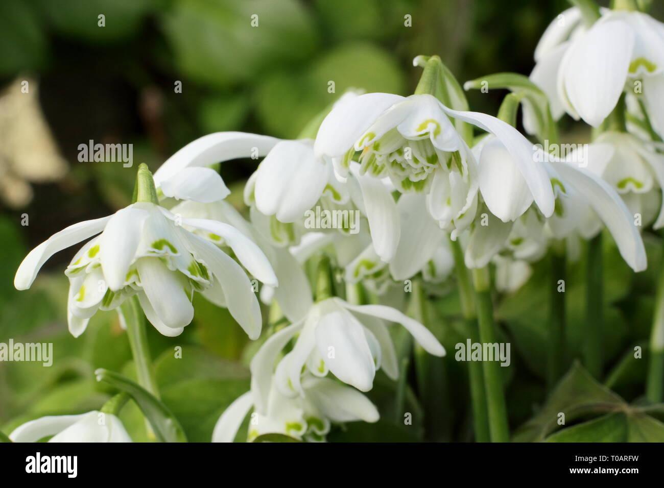Galanthus nivalis f. pleniflorus 'Flore Pleno'. Fragrant blooms of 'Flore Pleno' snowdrops in a UK garden - February, UK. AGM - Stock Image