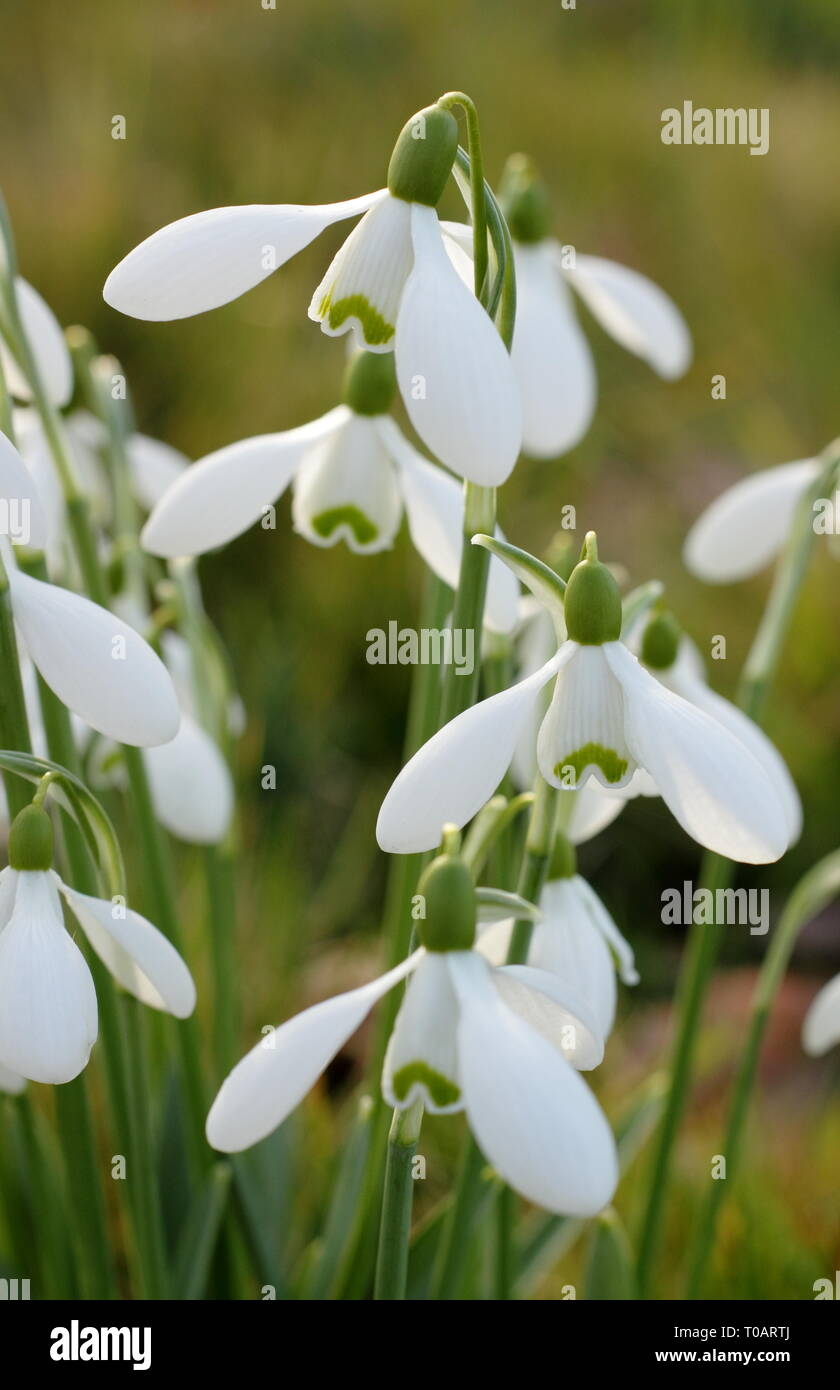 Galanthus. Snowdrop display illuminated by winter sunlight - February, UK - Stock Image