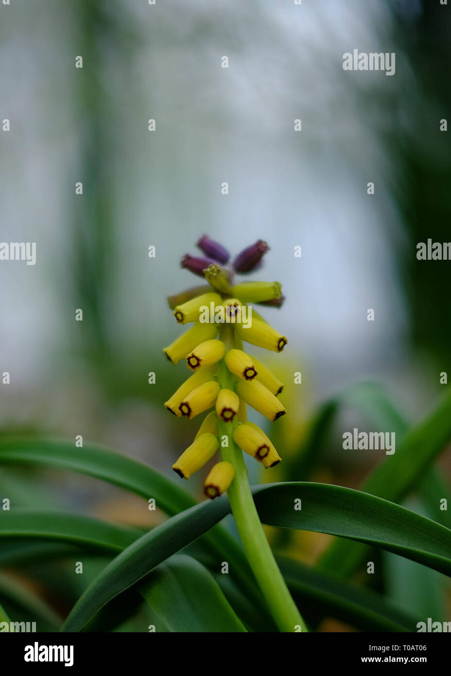 Yellow Grape Hyacinth Muscari macrocarpum flower in spring blurred background Stock Photo