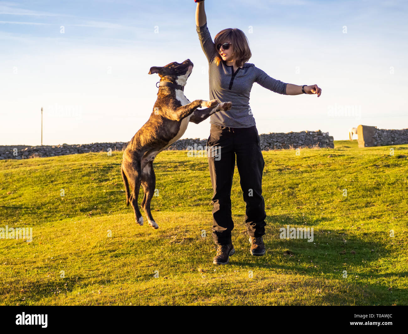 An adult woman playing with a young dog of the American staffordshire breed in countryside in springtime - Stock Image