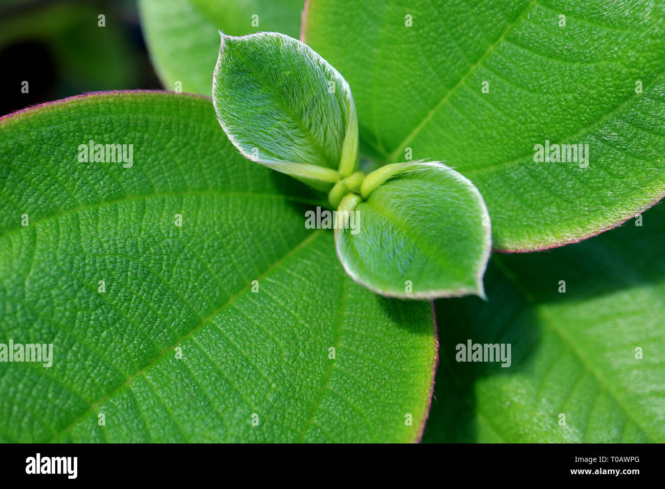 Closed up texture of vibrant green young hairy leaves - Stock Image