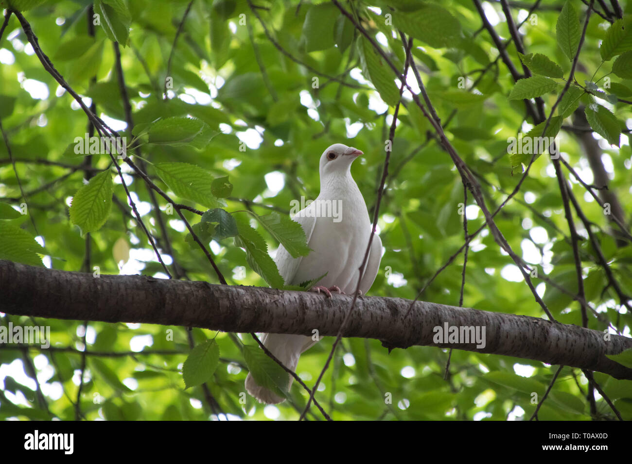 Happy smiling pigeon sitting in a green tree - Stock Image