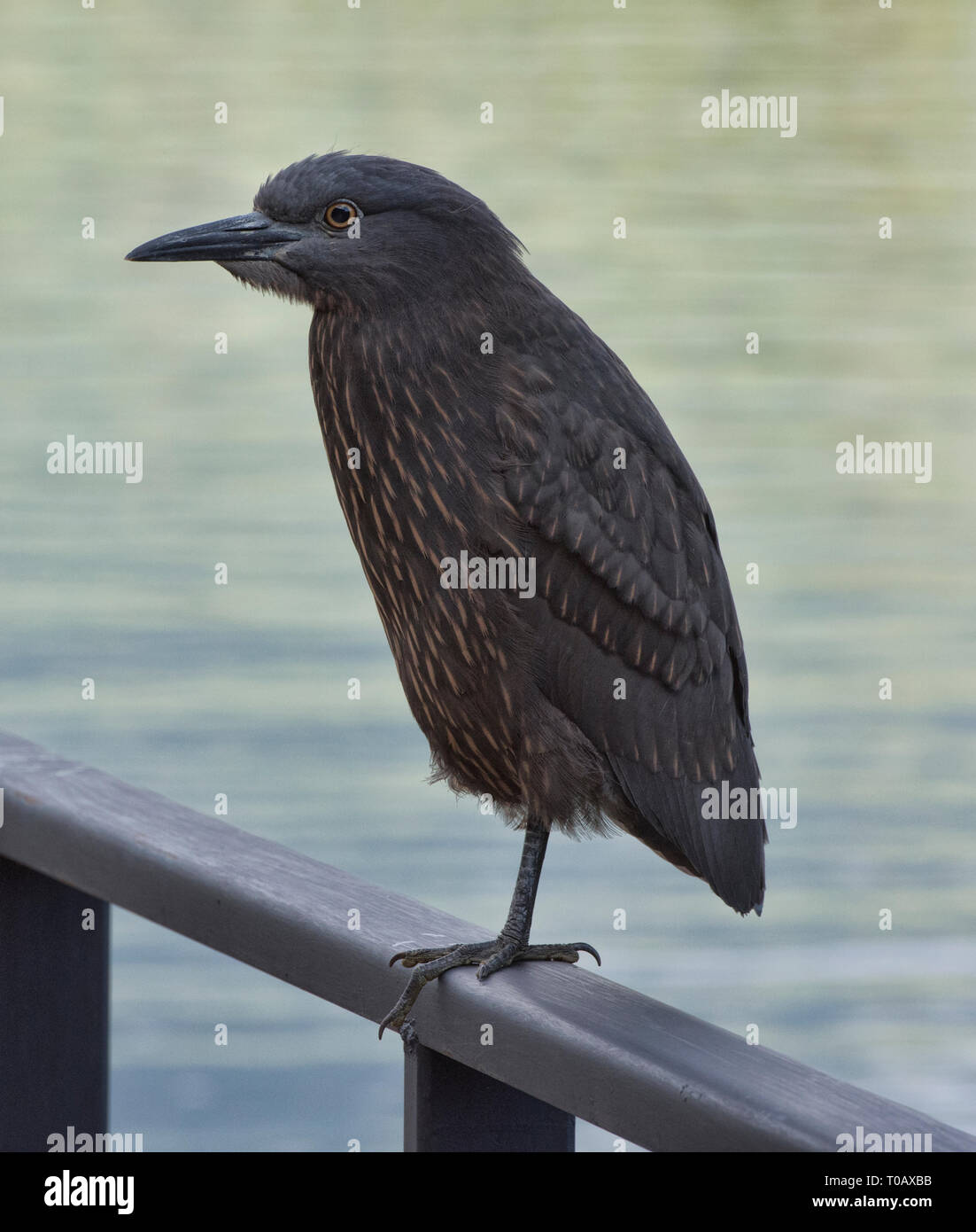 Black crowned night heron (Nycticorax nycticorax), Puyuhuapi fiord, Patagonia, Aysen, Chile - Stock Image