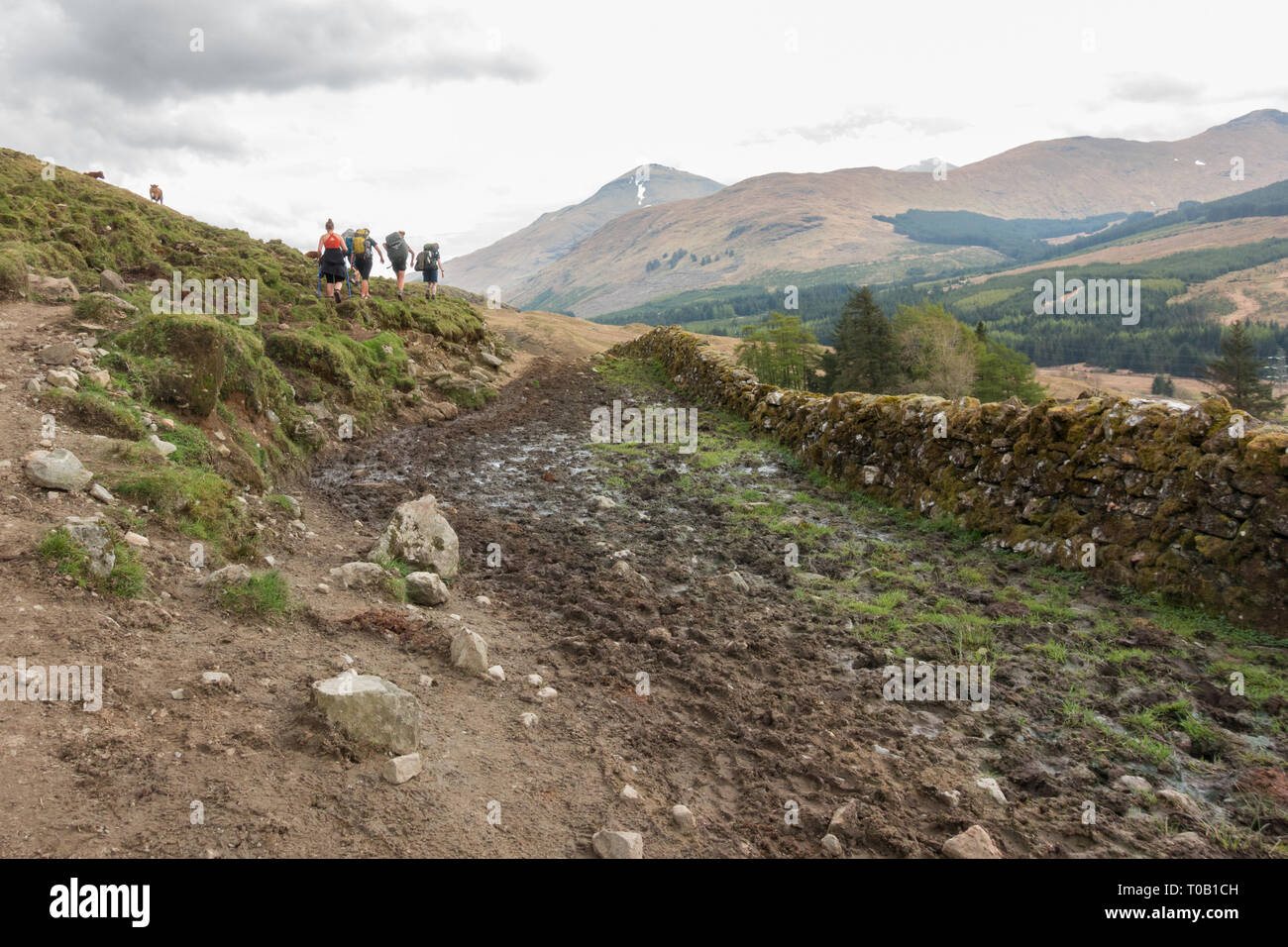 West Highland Way walkers avoiding mud and cow manure on section of footpath before Crianlarich known as cow pat alley in 2018 - reparwork  has since Stock Photo