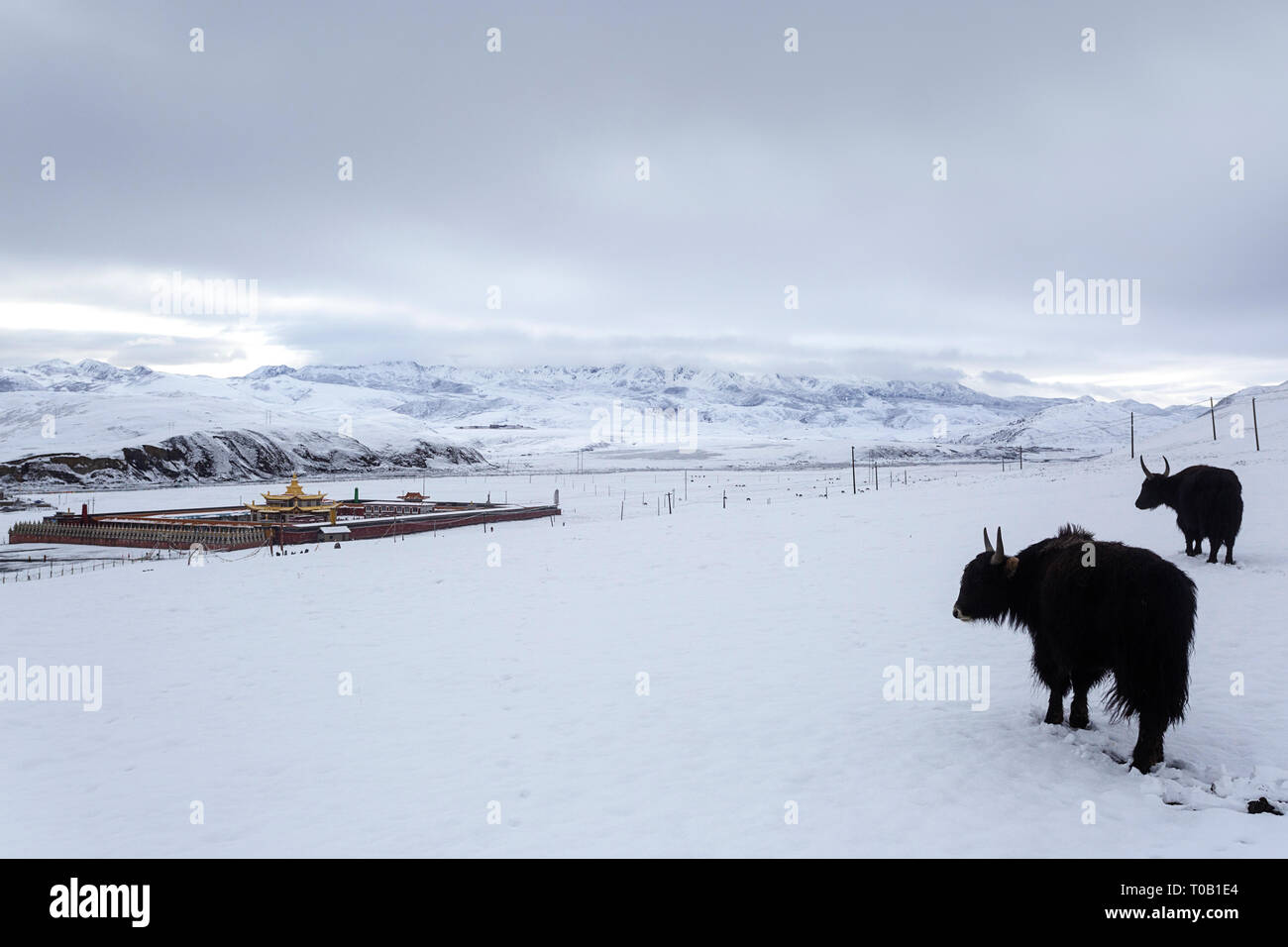 Yaks in snow covered landscape at Tagong Temple on the Tagong Grassland in Ganzi Prefecture, Sichuan Province - Stock Image
