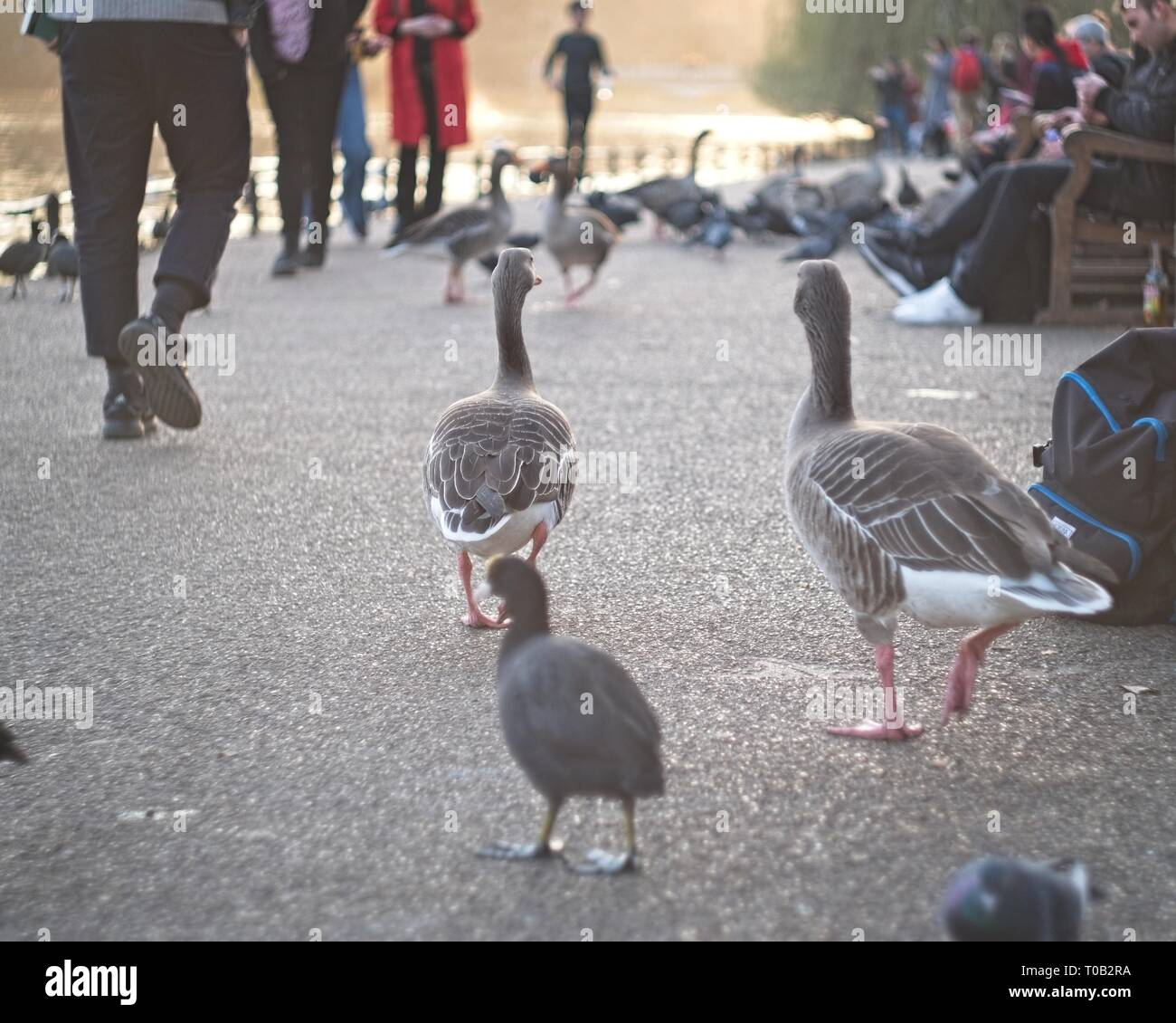 London, United Kingdom: birds and people in St. James's park, in the afternoon. - Stock Image