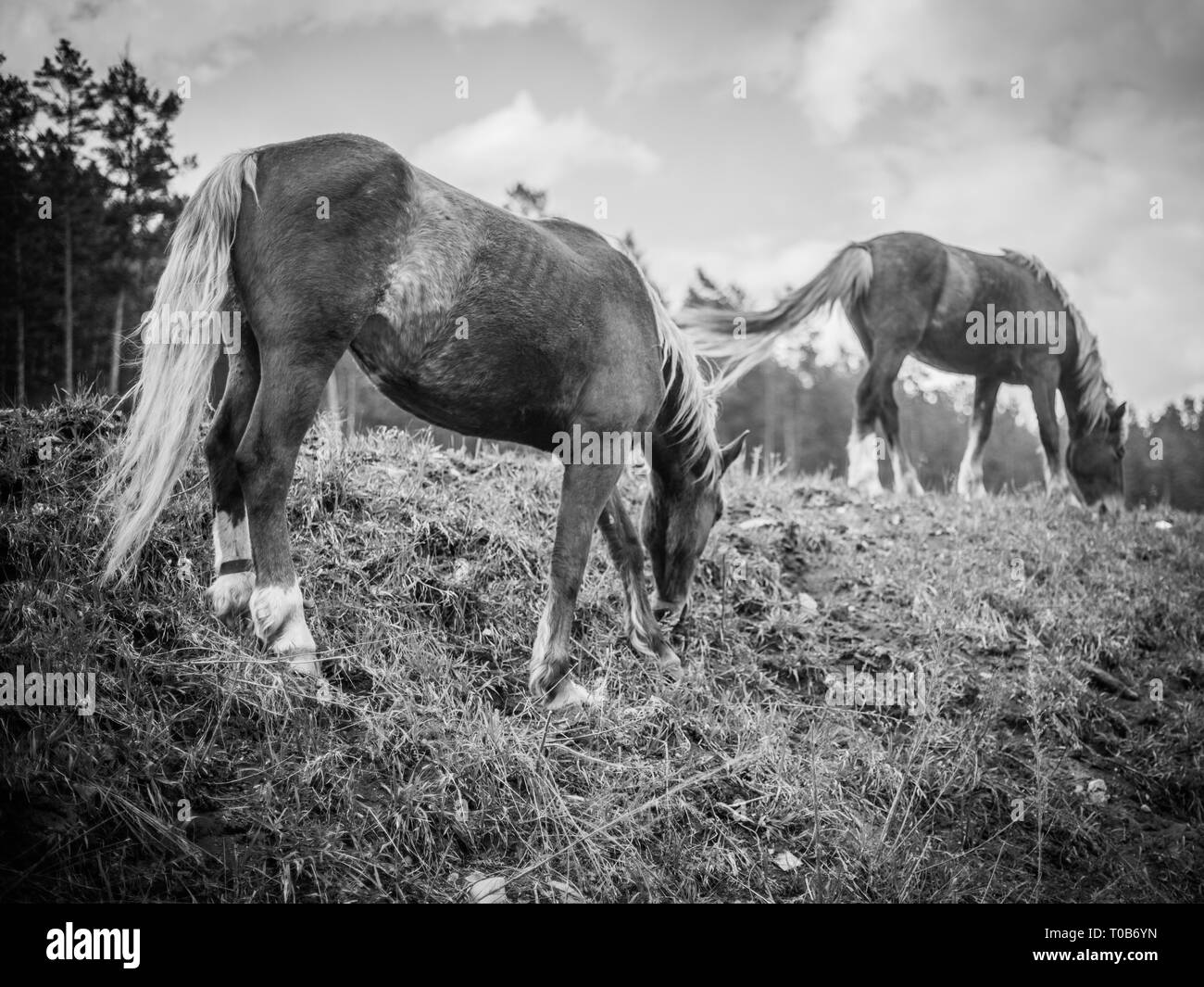 Close-up of a herd of horses white and black on a green meadow, in the background a green coniferous forest and blue sky in black-wmite color - Stock Image