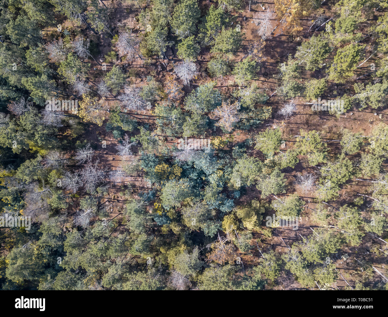 Aerial view of drone, with typical Portuguese forest, crown of trees, pines and oaks... - Stock Image