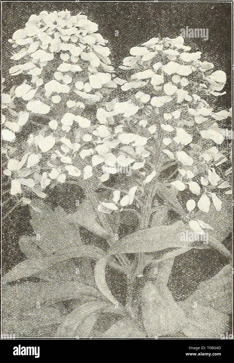 Dreer's garden book 1923 (1923) Dreer's garden book 1923 dreersgardenbook1923henr Year: 1923  H^^^^^^^^^^HI 75 CANARY-BIRD VINE (Tropaeclum Canariense) PER PKT. 1749 A beautiful rapid growing annual climber, the charm- ing little canary-yellow blossoms l:)earing a fancied resemblance to a bird with its wings half expanded. The sprays of flowers are very artistic and keep when cuW in good condition for a week. (See cut.) Per oz., 40 cts $0 05 CANDYTUFT (IberisUmbellata) The annual Candytufts are universally known and cultivated, and considered indispensable for cutting. All the varieties look b - Stock Image