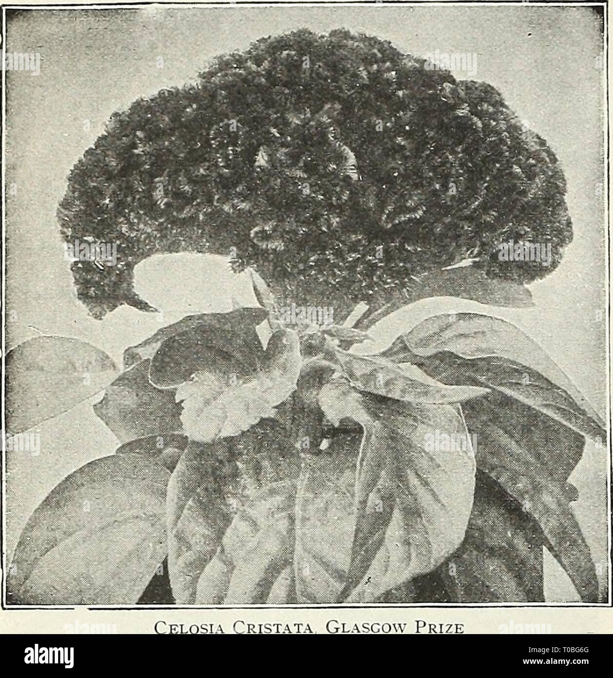Dreer's garden book 1929 (1929) Dreer's garden book 1929 dreersgardenbook1929henr Year: 1929  76 /flEHiyAMm^ JE RELIABLE FLOWER SEEDS, mBBLmRf    Canary-bird Vine (Tropaeolum Canariense) PER PKT. 1749 A beautiful rapid growing annual climber, the charm- ing little canary-yellow blossoms bearing a fancied resemblance to a bird with its wings half expanded. The sprays of flowers are very artistic and keep when cut in good condition for a week. Per oz., 40 cts $0 10 Canna (Indian Shot) Dwarf, Large-flowering French. Unquestionably the finest bedding plants for the American climate. The seeds here - Stock Image