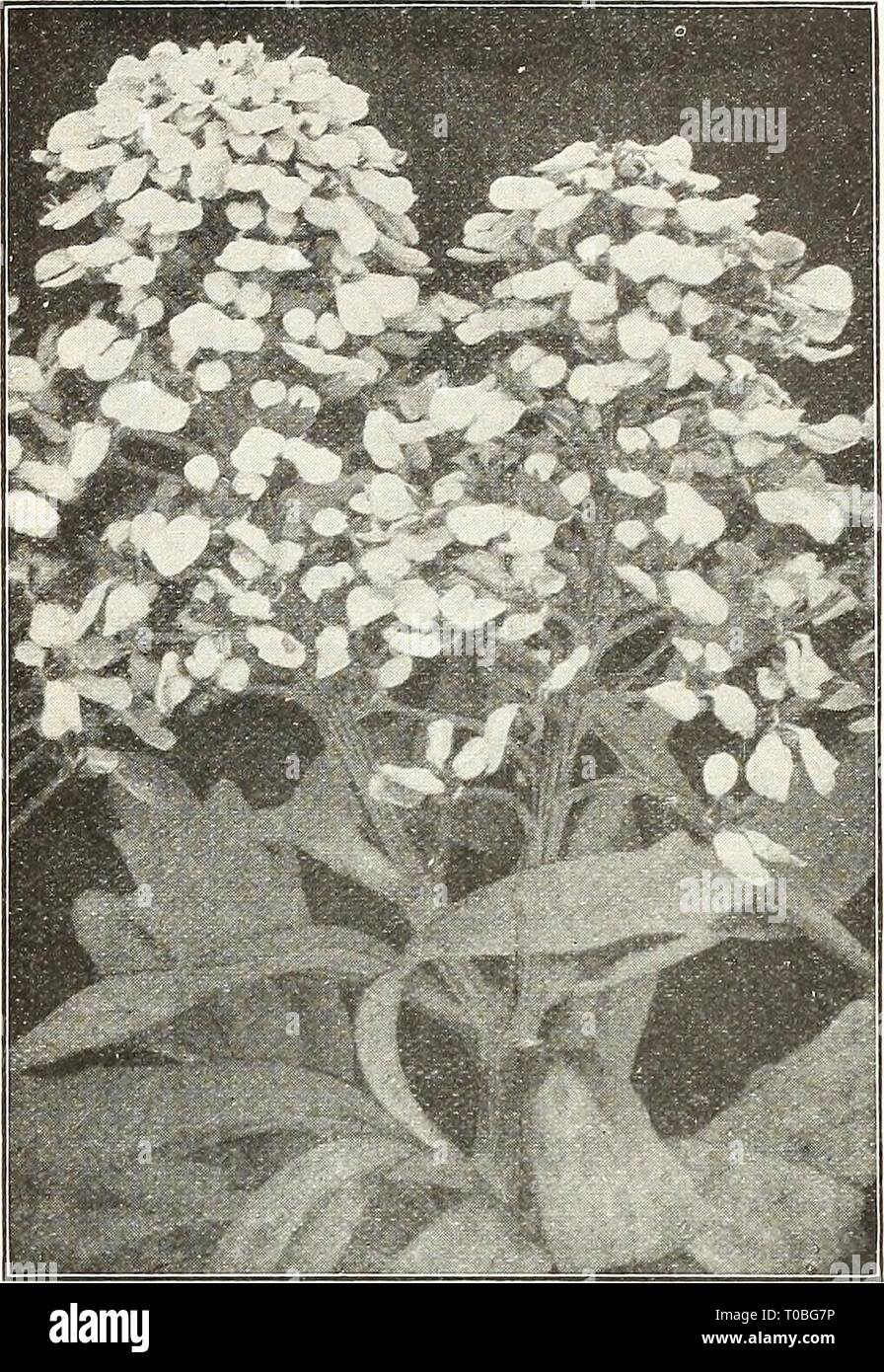 Dreer's garden book 1924 (1924) Dreer's garden book 1924 dreersgardenbook1924henr Year: 1924  /flEHRyA-DREElt^ RELIABLE FLOWER SEEDS, >HIMBEIiPIM 75 CANARY-BIRD VINE (Tropaeolum Canariense) PER PKT. 1749 A beautiful rapid growing annual climber, the charm- ing little canary-yellow blossoms bearing a fancied resemblance to a bird with its wings half expanded. The sprays of flowers are very artistic and keep when cut in good condition for a week. (See cut.) Per oz., 40cts SO 05 CANDYTUFT Iberis Umbellata) The annual Candytufts are universally known and cultivated, and considered indispensable - Stock Image