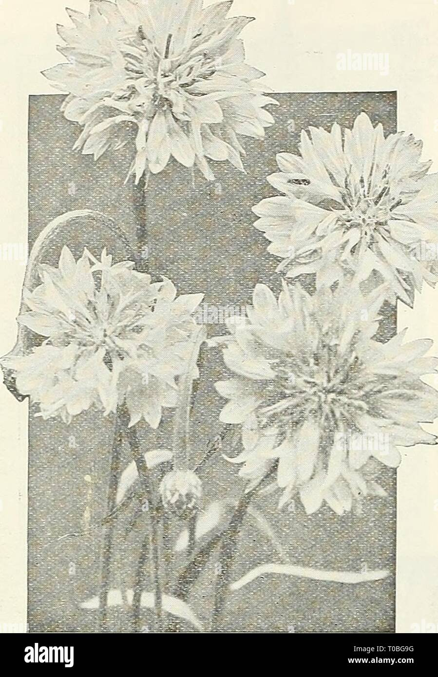 Dreer's garden book 1926 (1926) Dreer's garden book 1926 dreersgardenbook1926henr Year: 1926  78 /flEWyAJREE^ RELIABLE FLOWER SEEDS >HlMllEIiPM    D..' I 11, r I M a ',L  (. Y .xus (Cornflower) Centaurea Imperialis (Royal Sweet Sultans) This beautiful class is undoubtedly the finest of all Sweet Sultans for cut-flower purposes. The charming, sweet-scented, artistic- shaped flowers are borne on long, strong stems and when cut will stand for several days in good condition. It is best, in this latitude, to sow very early in the spring, so that they may perfect their flowers before very hot we Stock Photo