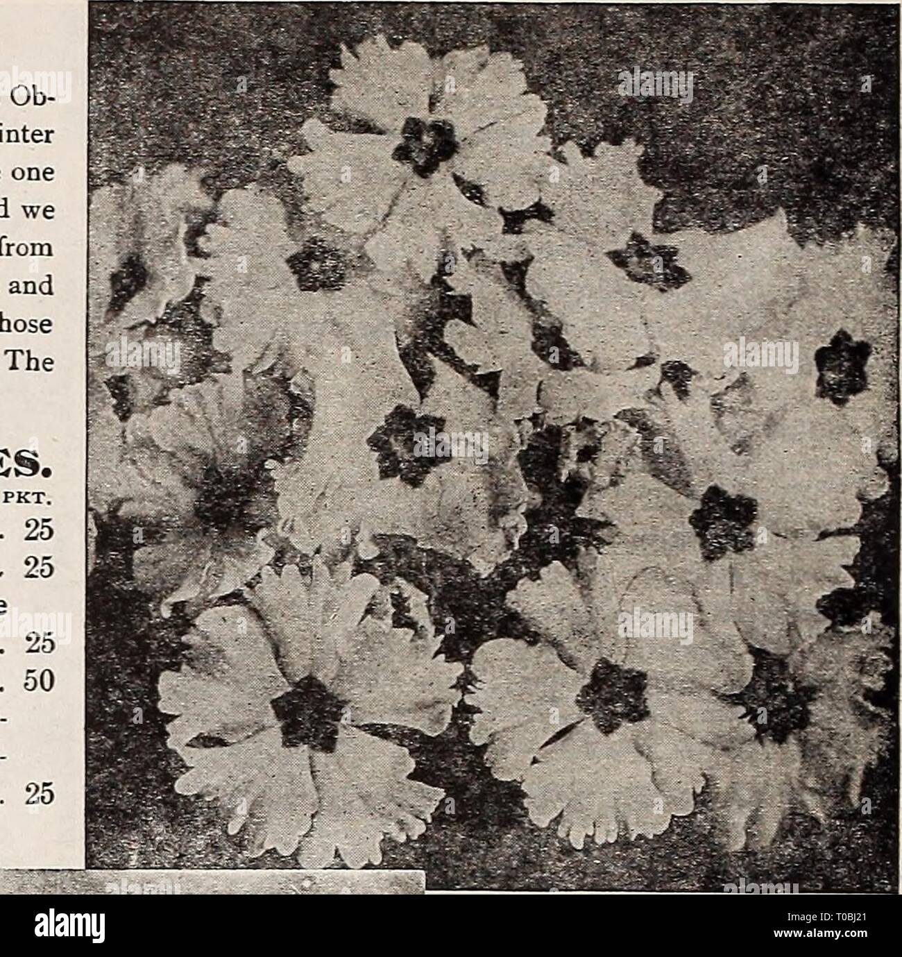 Dreer's garden book 1917 (1917) Dreer's garden book 1917 dreersgardenbook1917henr Year: 1917  Large-Flowering Chinese Primrosb Hardy Primroses. These are among the best of the early spring-blooming plants. With â a slight protection they will stand the winter, but will do better if protected by a cold frame. PER PKT. 1500 Auricula. A well-known favorite of great beauty; seed saved from splendid choice mixed varieties; 6 inches 15 3825 J a p o n i c a (Japanese Primrose). Bright and showy flowers; borne in stems 6 to 9 inches long; mixed colors 15 (English Primrose). Canary-yellow, fragrant.   - Stock Image