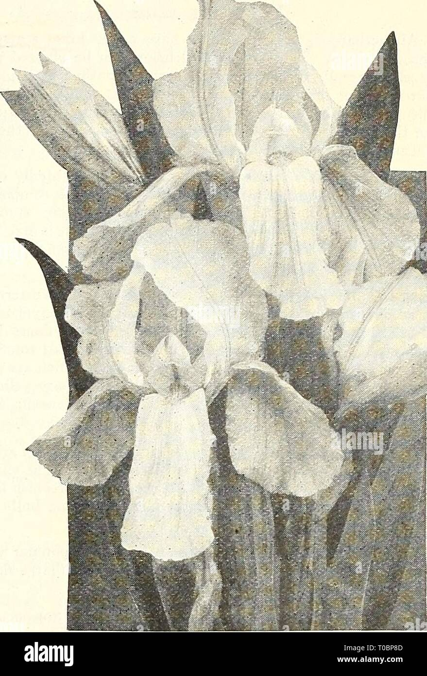 Dreer's garden book 1928 (1928) Dreer's garden book 1928 dreersgardenbook1928henr Year: 1928  BMmmmtoMmkamkHtmmm 185 General Collection of Iris Germanica Blue Boy. Standards and falls lavender blue. Bridesmaid. Standards pale lavender; falls white, reticulated lavender. Candelabra. Standards lavender suffused lilac, falls dark purple with white reticulation. Cherubim. Standard pale lilac, falls lilac veined with purple. Florentina Alba. Very free-flowering white. Foster's Yellow. Standards and falls creamy yellow. Her Majesty. Standards and falls bright mauve pink. Honorabilis. Standards golde - Stock Image
