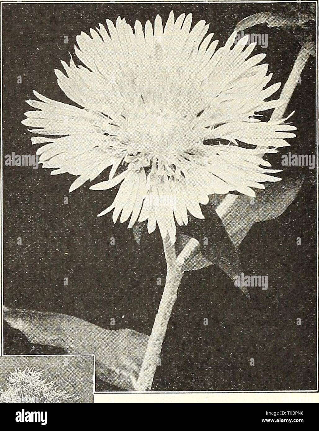 Dreer's garden book 1924 (1924) Dreer's garden book 1924 dreersgardenbook1924henr Year: 1924  Sweet William Stokesia (Cornflower Aster) SWEET WILLIAM (Dianthus Barbatus) A well-known attractive, free-flower- ing hardy perennial, producing in early summer a splendid effect in beds and borders, with their rich and varied flow- ers. We can supply the following, all grown from our own select strain of seed. Newport Pink. The prettiest color among Sweet Williams, a lovely salmon or watermelon pink. Pure White. Very large individual flowers and trusses. Scarlet Beauty. Rich deep scarlet; very eftect - Stock Image