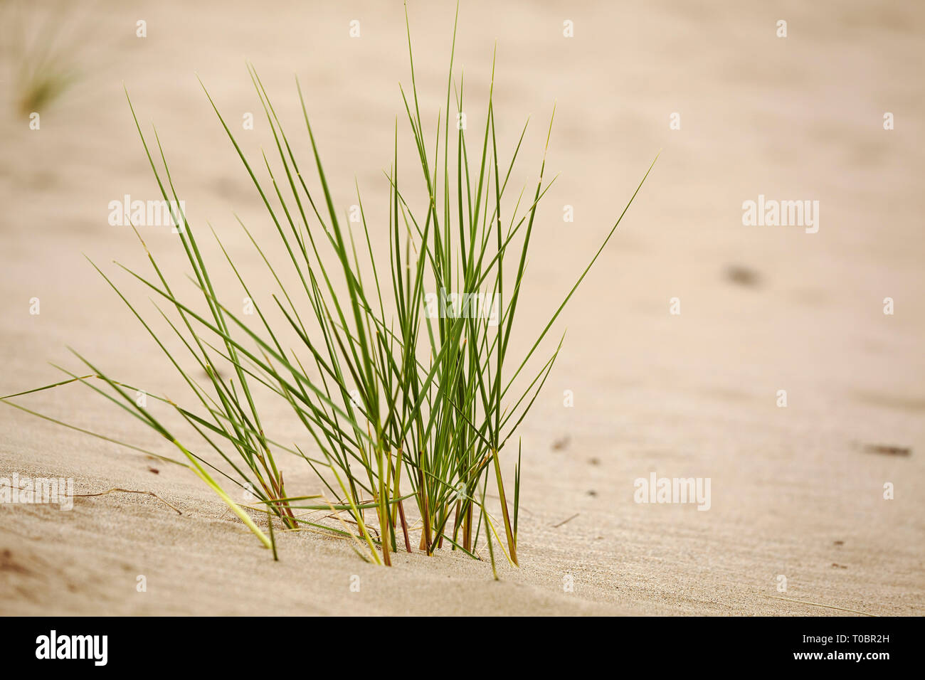 Marram grass growing in dunes at Crow Point in the Taw and Torridge estuary, near Braunton, north Devon, Great Britain. - Stock Image