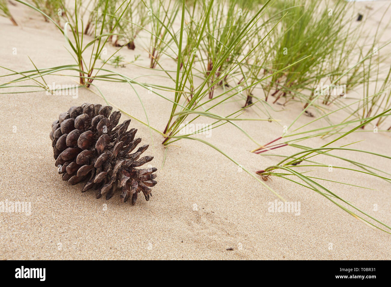A pine cone on sand in dunes at Crow Point in the Taw and Torridge estuary, near Braunton, north Devon, Great Britain. - Stock Image