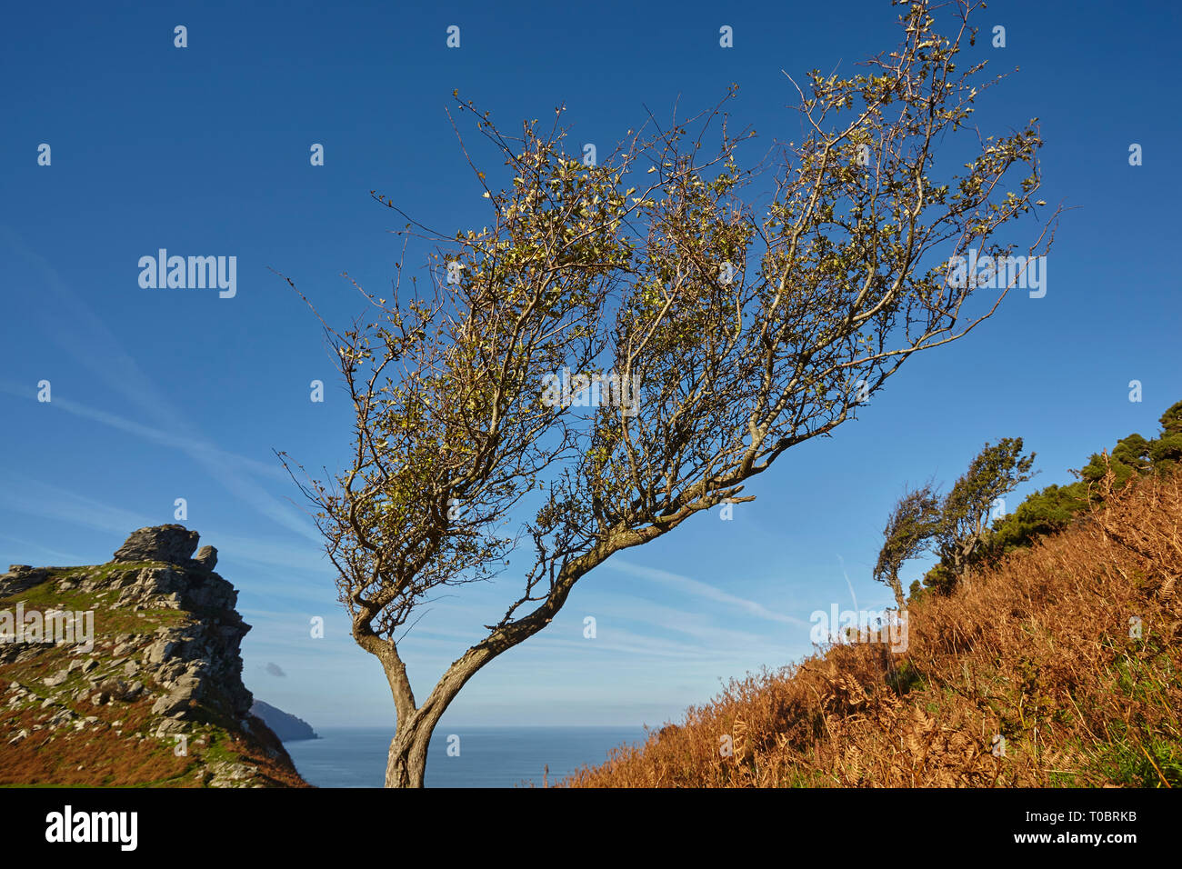 A wind-gnarled hawthorn tree on the coast, in the Valley of Rocks, near Lynton, in Exmoor National Park, Devon, Great Britain. - Stock Image
