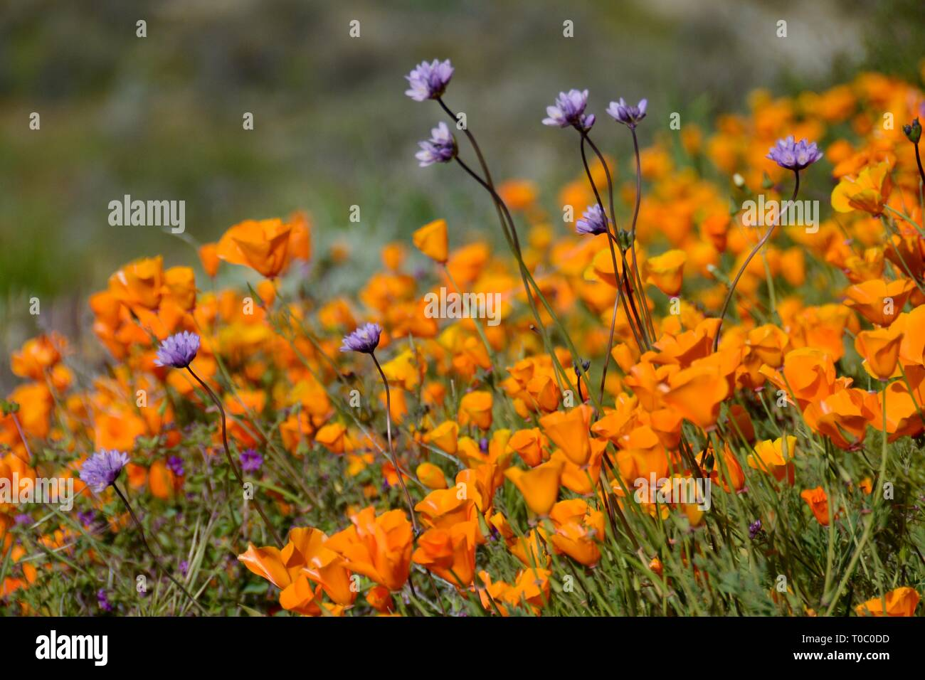 Closeup of Golden Poppies and purple wildflowers. Super Bloom 2019. Taken March 9 at Walker Canyon Poppy Fields, which are now closed for viewing. - Stock Image