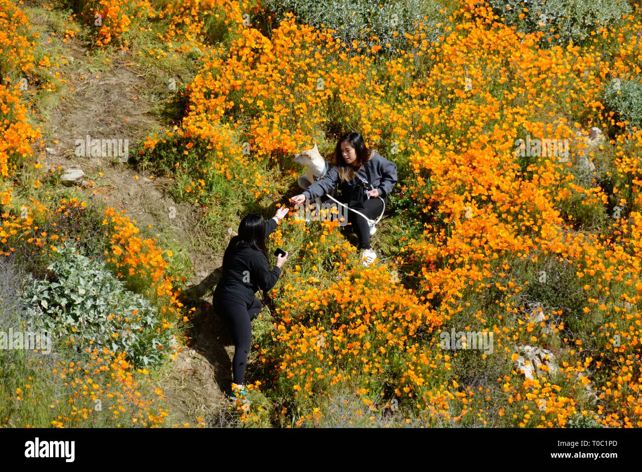 Lake Elsinore, CA / USA - March 9 2019: Two women and a dog trample on fragile Golden Poppies while taking photos at the now-closed Walker Canyon. - Stock Image