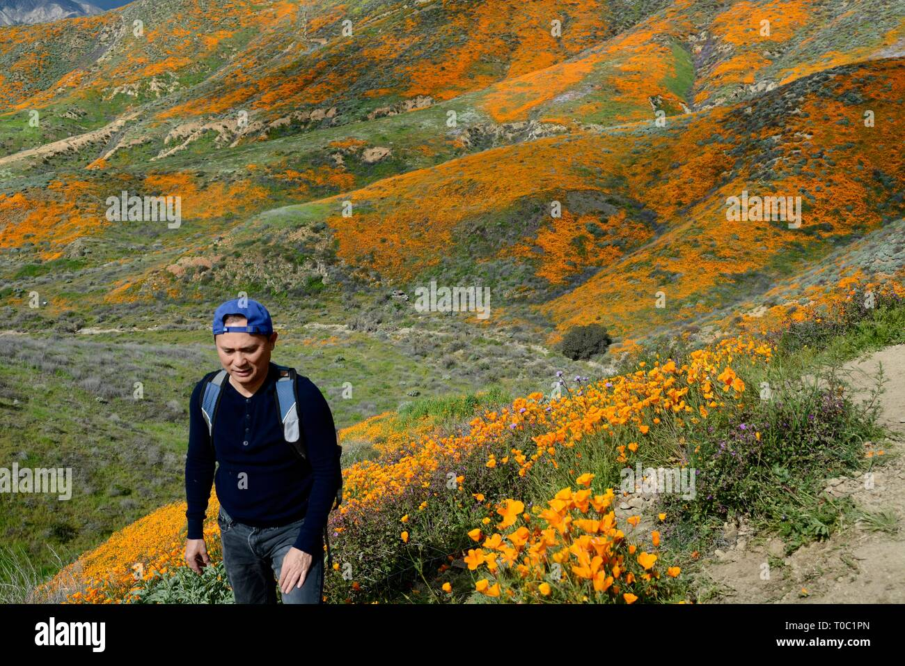Man, hiking the trails at Walker Canyon, is surrounded by beautiful Golden Poppies during the Super Bloom. The canyon is now closed to all. - Stock Image