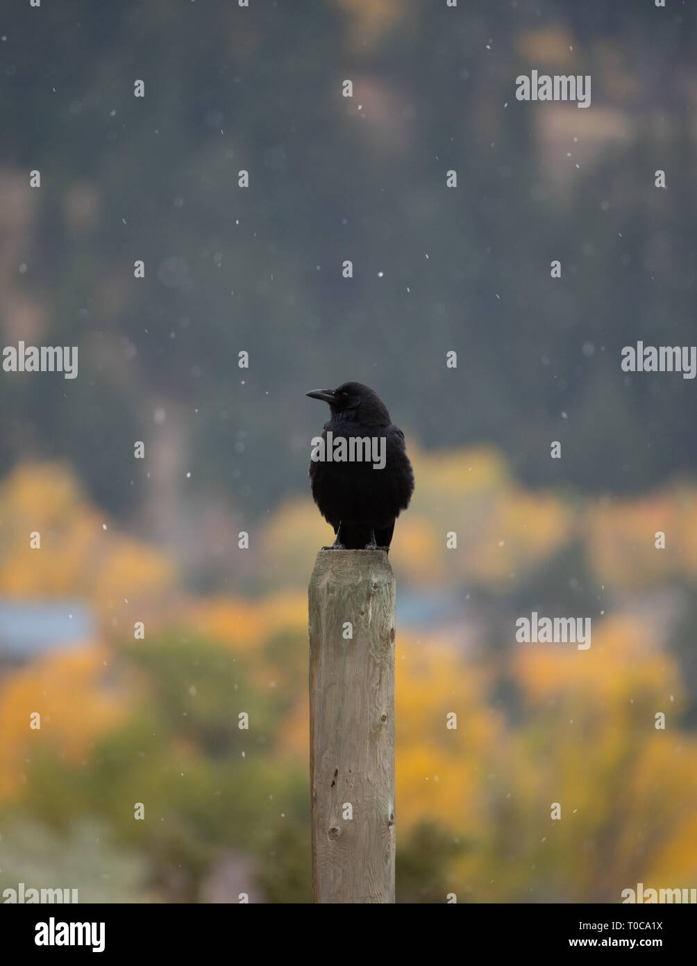 A crow sitting on a wooden fence post looking to its right. Snowflakes are falling around the bird. Shallow depth of field. - Stock Image