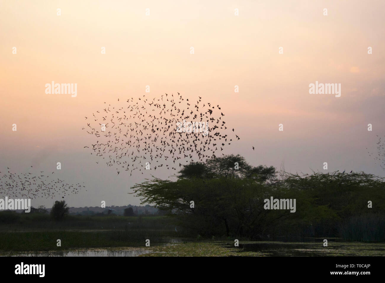 Bramhini starling formations in the sky, India. - Stock Image